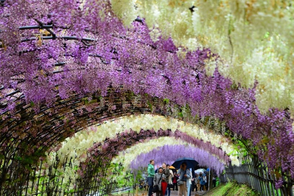 The best part of Kawachi Wisteria Garden is the tunnel of wisteria flowers.