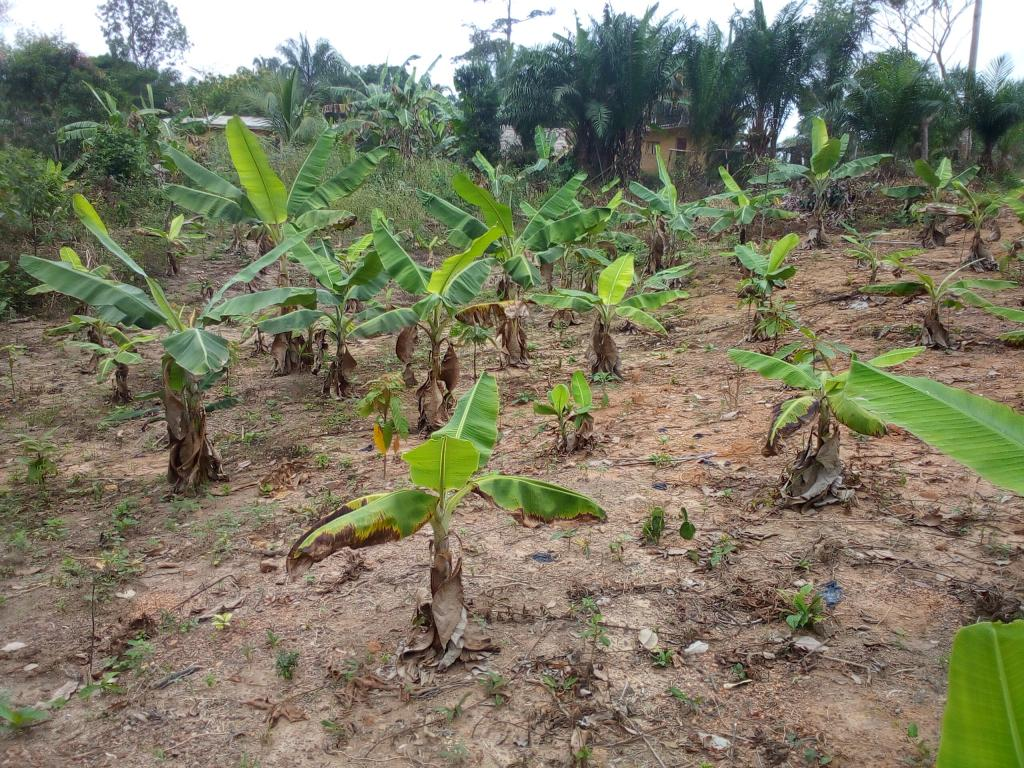 Inter cropping Cocoa with Plantin as a new method for farmers to see and practice.