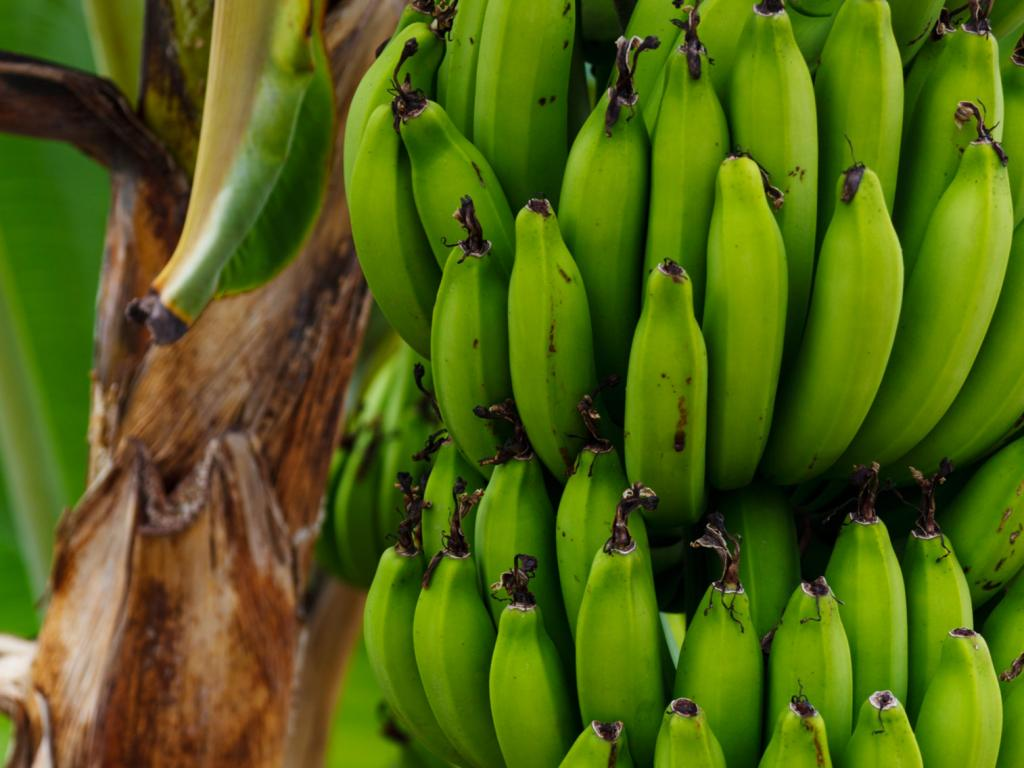 I give you this banana just to tell you that I harvest more than 5 tons of banana per trimest